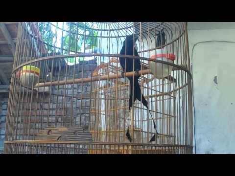 burung sri gunting rumbai garut