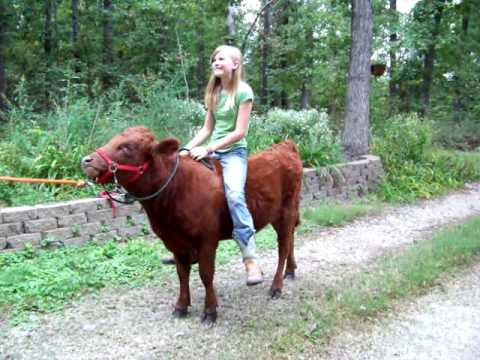 Girl Riding Horse Wallpaper Riding Rosie Chronicals Of An Irish Dexter Cow Youtube