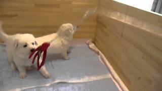 ホワイトスイスシェパードの仔犬生後36日目 父:ホワイトスイスシェパー...