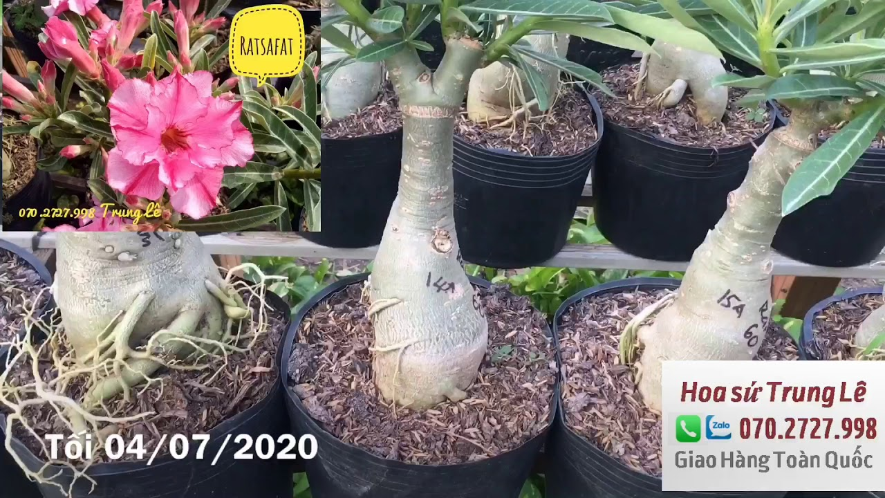 Đã bán 🌈 Tối 04/07 - Sứ ghép 1 cốt cây đẹp siêu khỏe. lh: 070.2727.998 Trung Lê