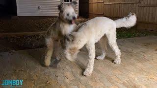 Wheaten Terrier vs Goldendoodle, a breakdown