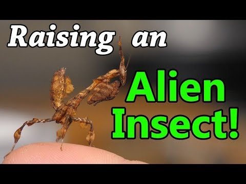 How to Care for Praying Mantises!
