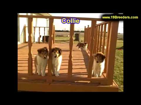Collie, Puppies For Sale, In, Nashville, Tennessee, TN, County, 19Breeders, knoxville, Smith
