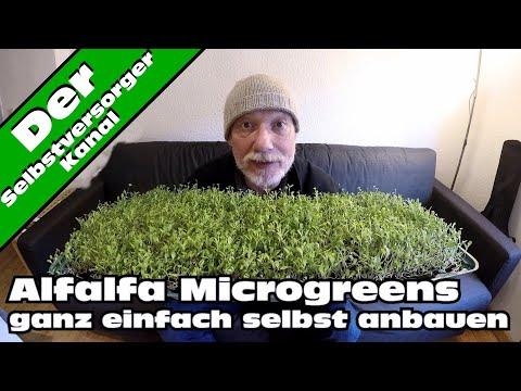 Alfalfa Microgreens schnell und einfach selbst anbauen
