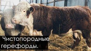 Эмбрионный бык герефорд