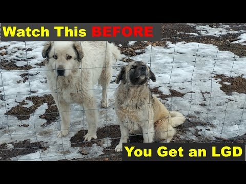Watch This BEFORE Getting a Livestock Guard Dog