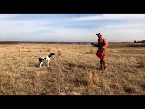 Whoa Training Your New Puppy - Session 1 - Upland Bird Dog Training