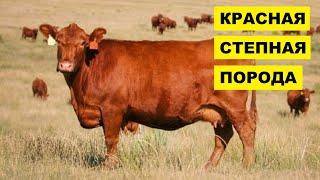 Разведение Красной степной породы коров как бизнес идея   КРС   Красная степная корова