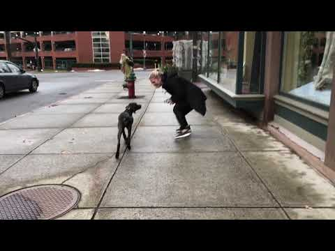 Albany Dog Trainers   Delmar Dog Trainers   German Short Haired Pointer, Greta