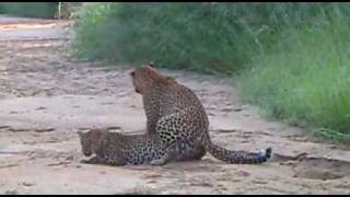 WILDlife: Leopards Mating - Big Cats in Africa