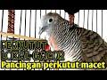 Perkutut Lokal Gacor Bagus Untuk Pancingan Suara Burung Perkutut Lokal  Mp3 - Mp4 Download