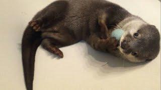 カワウソさくら  謎のかわいさ!両手でぎゅっ!尻尾でポーン! otter