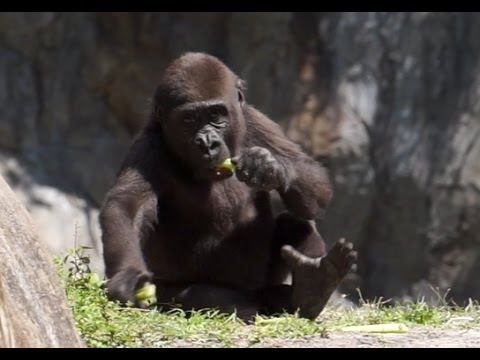 cute Young Gorilla Going Ape Baby Gorillas KING KONG of Playtime playing eating zoo wild time