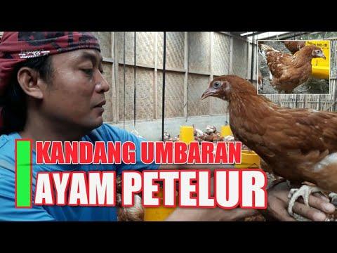 Kandang Ayam Petelur Umbaran - YouTube