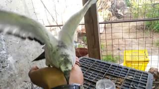 comment dresser un pigeon partie 1