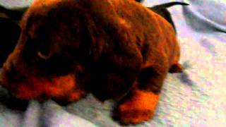 Akc Miniature Dachshund Puppies.. One Available