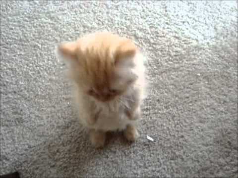 Thumbnail for Cat Video My Orange Napoleon Kitten -  Strawberry Princess