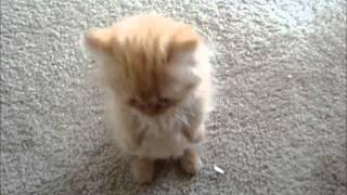 これぞ究極にキュートな子猫!ミヌエットのおねだりが可愛すぎて撃沈するも後悔はない