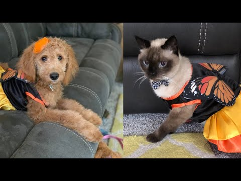 Siamese Cat and Goldendoodle Puppy in Monarch Butterfly Costume 😂