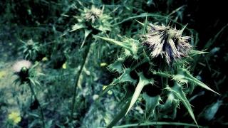 Волшебная трава чертополох. Народная медицина #WoofChannel