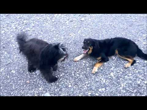 Playing Dogs Tibetan Terrier and Hova