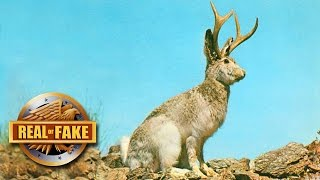 RABBIT WITH ANTLERS -  real or fake?