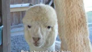 how to feed alpacas