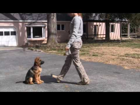 German Shepherd puppy - Jana von Lotta - 3 weeks in training