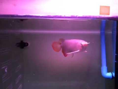 """ขายปลามังกรแดง super red ขนาด 9""""-10"""" ราคา 18000..."""