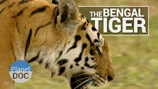 The Bengal Tiger | Wild Animals - Planet Doc Full Documentaries