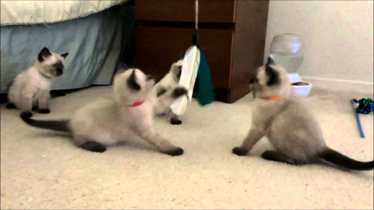 Squeezable Siamese kittens 6 weeks