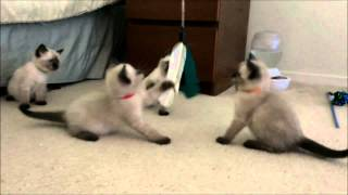 Squeezable Siamese kittens, 6 weeks!