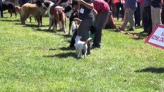 Terceiro dia da Exposição Canina de Sintra que se realiza em S. João das Lampas. Domingo, 26 de Julho de 2015.