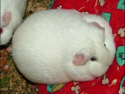 Fat Hampster 118