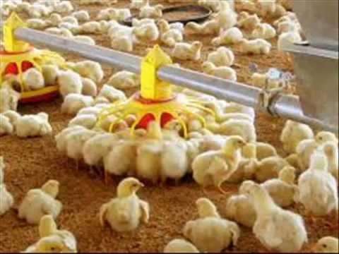 Poultry mein beruni aur andruni kirm aur broiler feed formula Dr.Ashraf Sahibzada