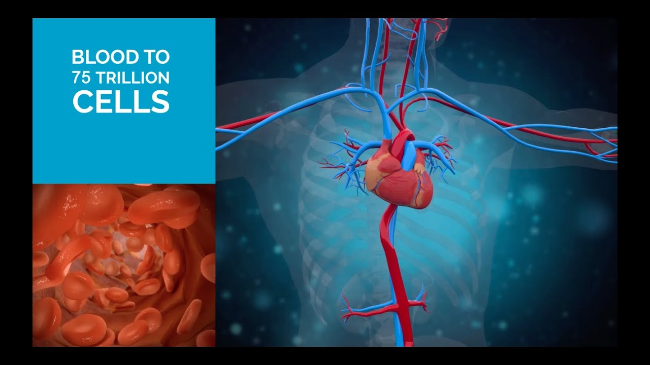 3d Medical animation video/Heart anatomy : 180 sec - YouTube