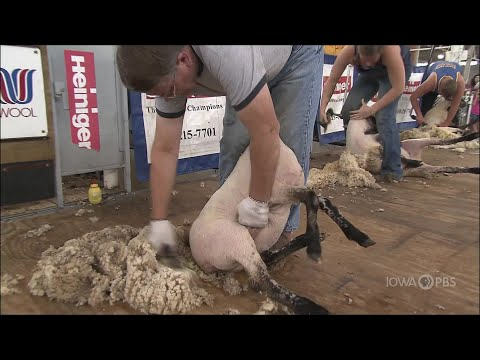 Sheep Shearing Contest | Iowa State Fair 2012