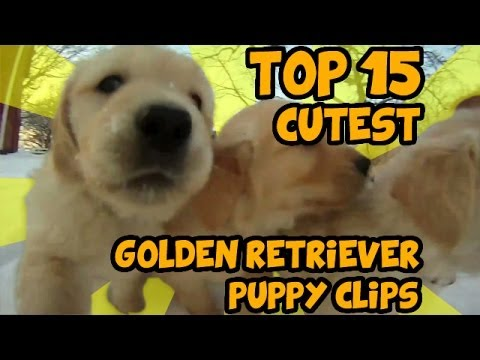 TOP 15 OF THE CUTEST GOLDEN RETRIEVER PUPPY VIDEOS OF ALL TIME