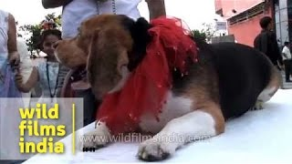 Lazy Beagle At A Mass Dog Gathering In Delhi