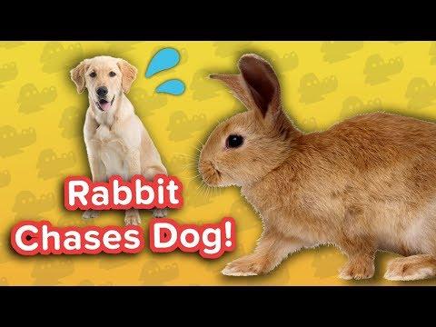Rabbit Chasing Dog & Self-Walking Puppies! // Funny Animal…