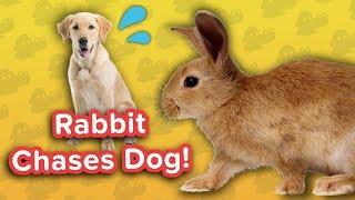 Rabbit Chasing Dog & Self-Walking Puppies! // Funny Animal Comppilation