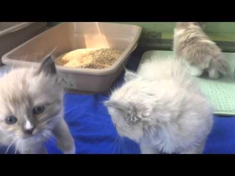 Litter box training Ragdoll kittens