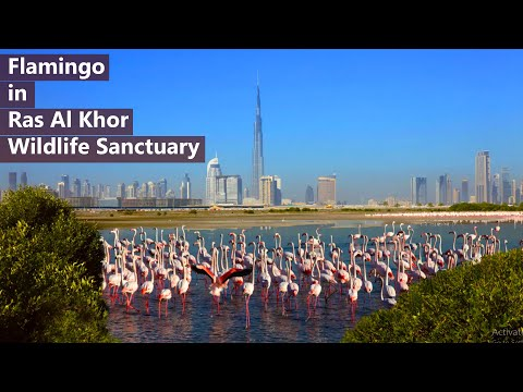 Flamingo Ras Al Khor Wildlife Sanctuary in Dubai #Shorts