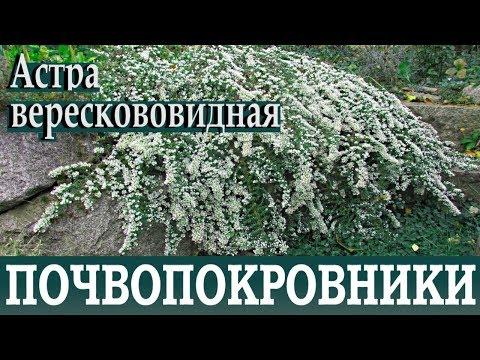 Почвопокровные растения для сада, для дачи  Астра верескововидная