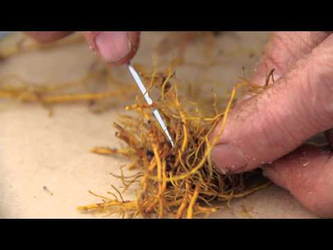 Rhizome and root propagation of goldenseal
