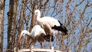 les cigognes Cernay 20 mars 2015