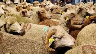 Fête de la Transhumance de Saint Etienne de Tinée, l'arrivée du troupeau