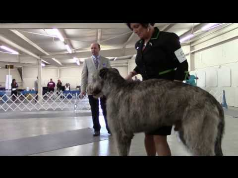 4-23-2017 Northwest Arkansas Kennel Club - Irish Wolfhounds