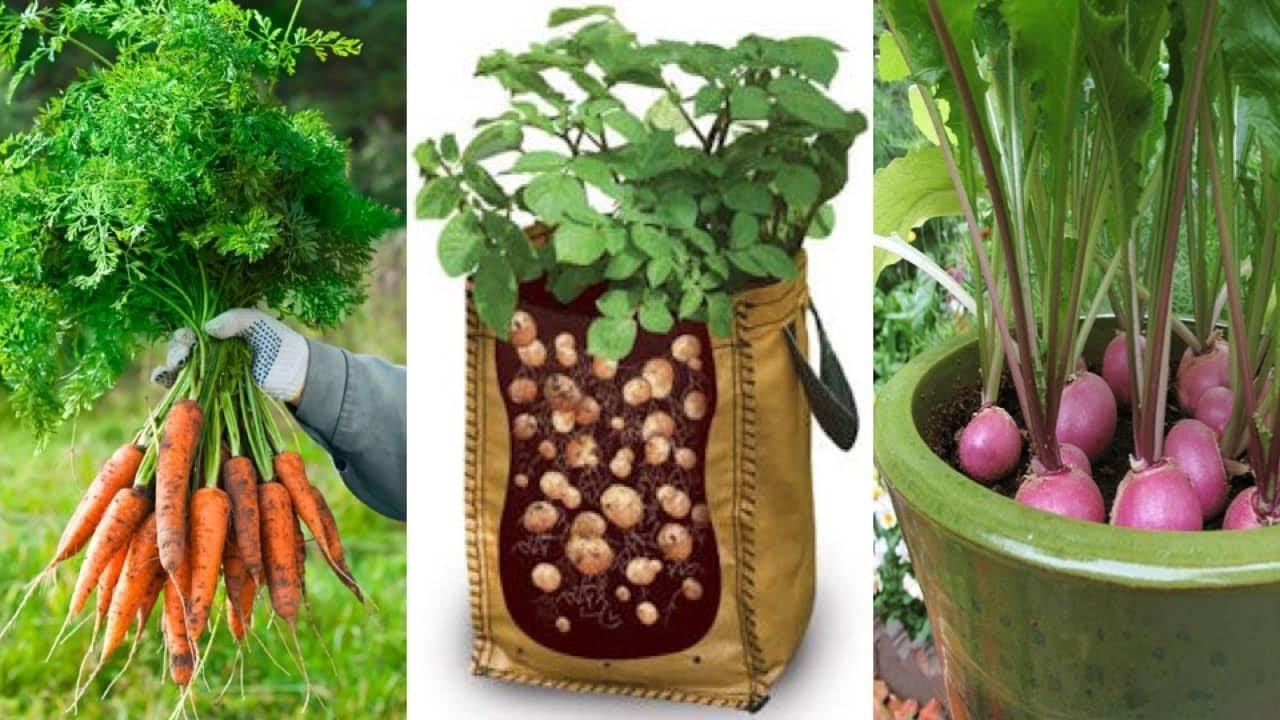 4 Of The Easiest Root Vegetables To Grow In Containers Even If You Live Apartment