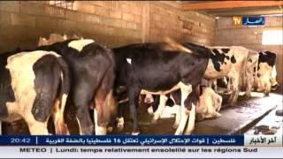 فلاحة: شعبة تربية الأبقار..العراقيل تدفع بالمربين لهجرة المهنة